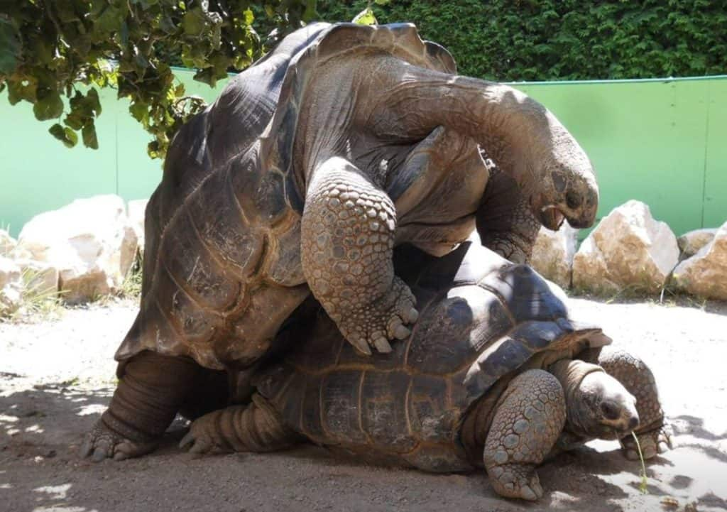 Schildkröten Paarung im Reptilienzoo Happ Klagenfurt TOP-Ausflugsziele am Wörthersee