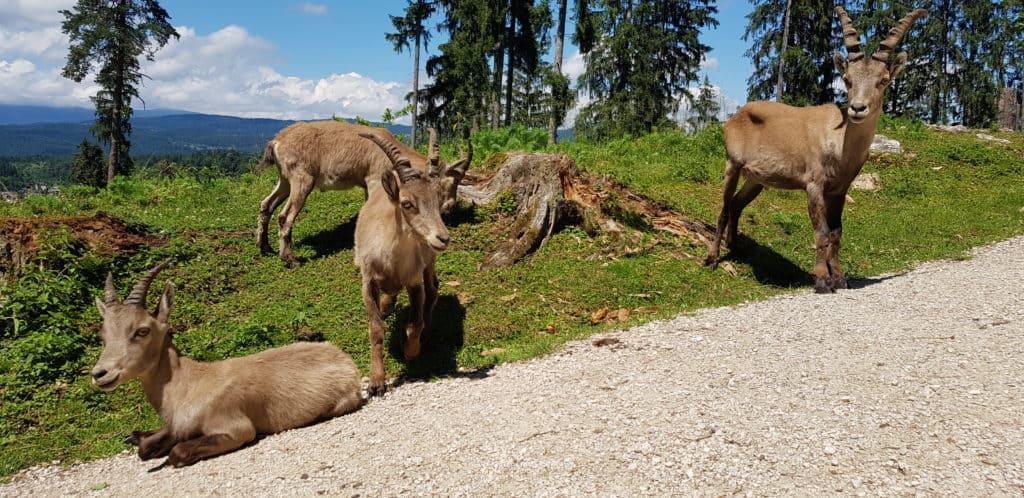 Steinböcke entlang des Wanderweges im Tierpark Rosegg in Kärnten