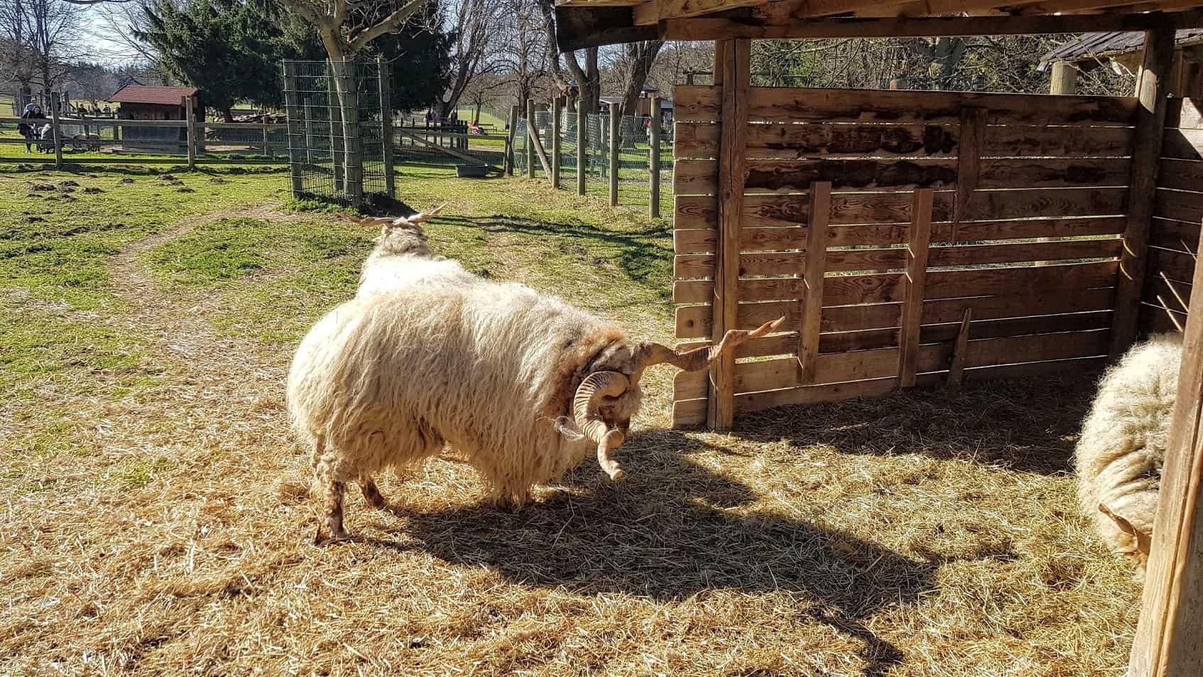 Ausflug Ferien Kinder Kärnten Tierpark Rosegg Streichelzoo Schafe