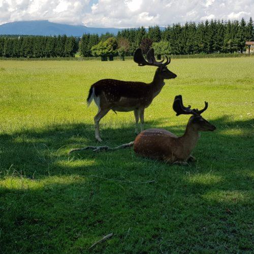 Hirsche im Tierpark Rosegg