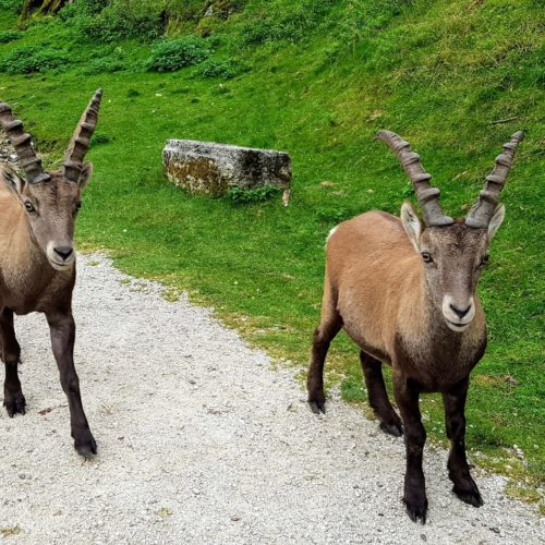 Steinböcke am Weg bei Wanderung durch Tierpark Rosegg in Kärnten, Österreich