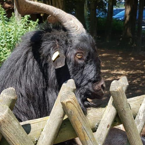 Streichelzoo Tierpark Rosegg - Ziege