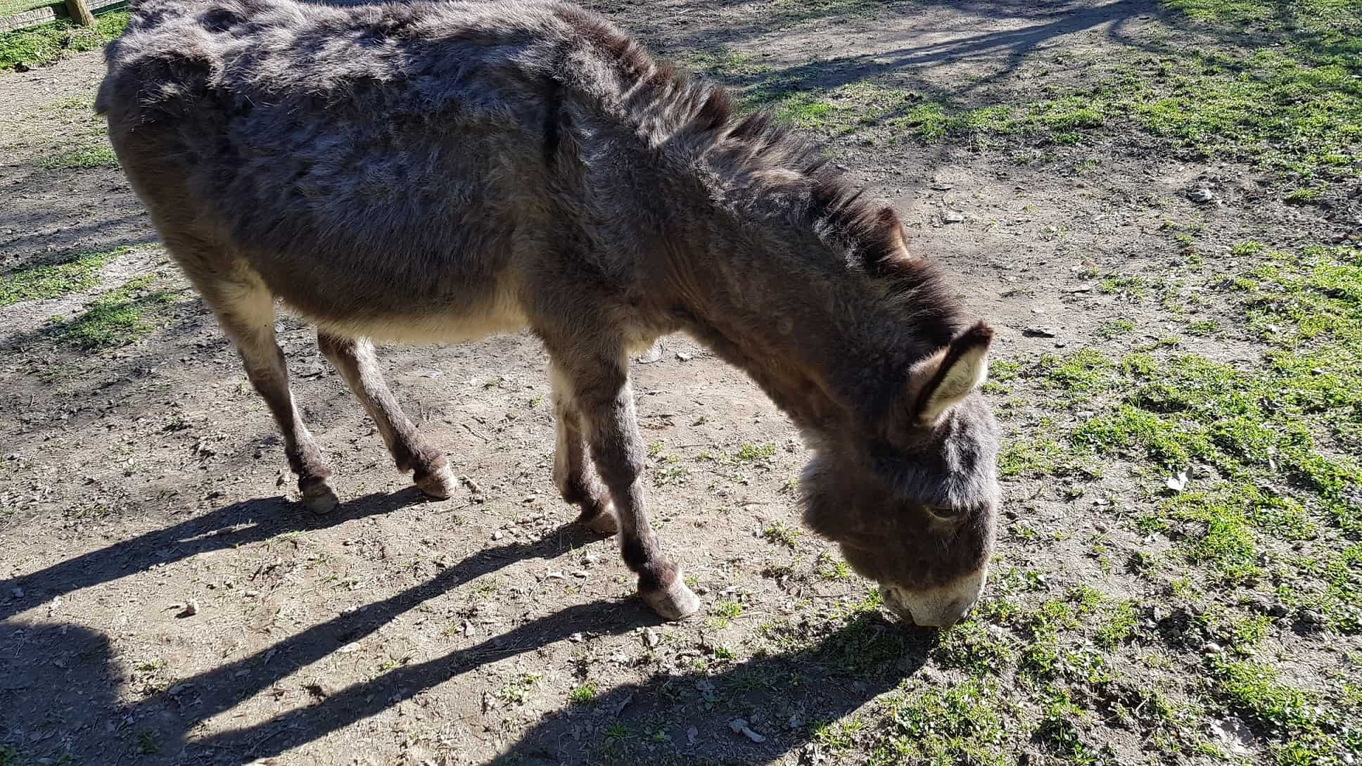 Esel Streichelzoo Tierpark Rosegg