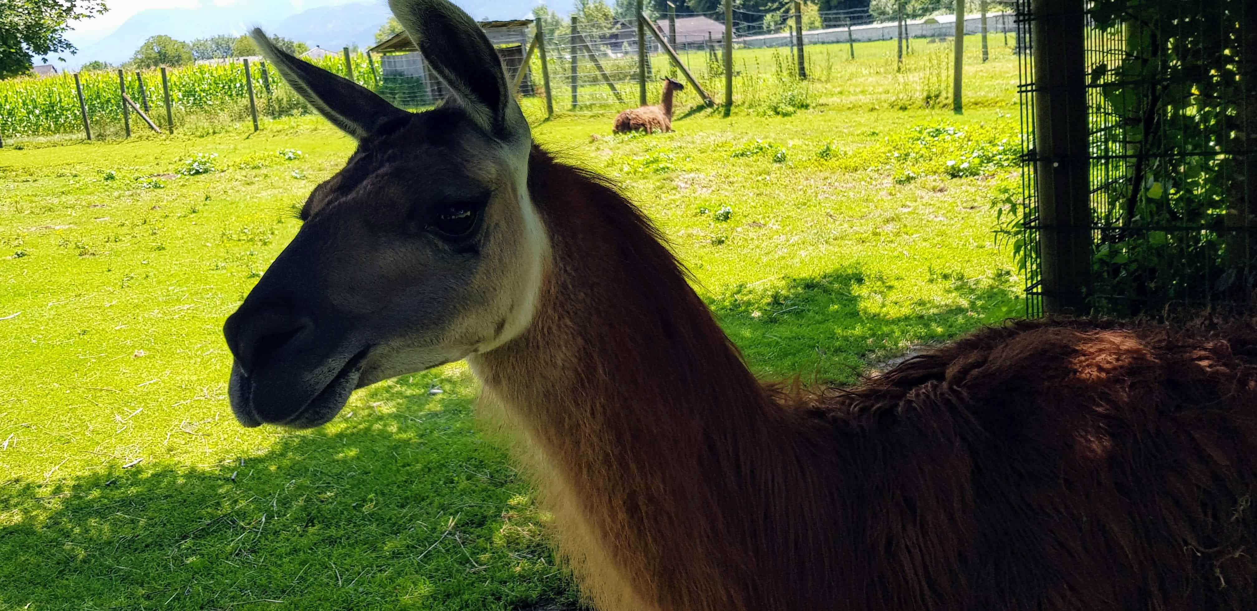 Familienausflug Streichelzoo Tierpark Schloss Labyrinth Rosegg Kärnten Lama