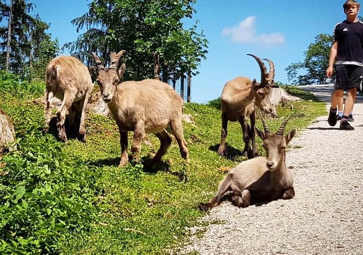 Familienfreundliches Ausflugsziel Tierpark Rosegg Wörthersee Kärnten Steinböcke
