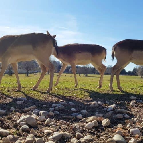 Familienausflug Tierpark Rosegg Wild Rehe Hirschen