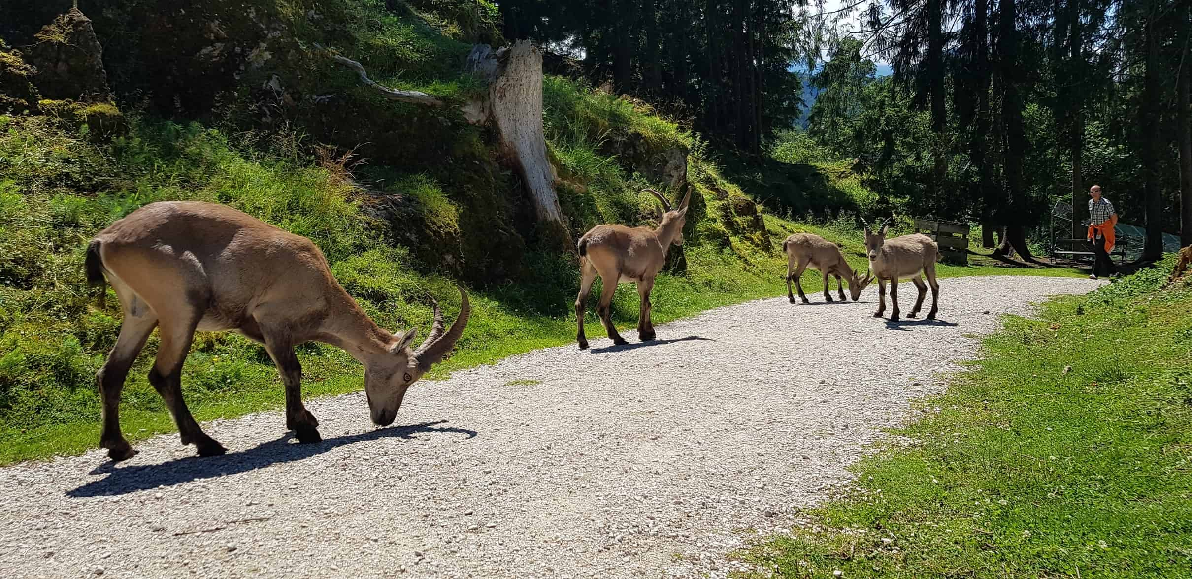 Steinböcke beim Spaziergang durch Tierpark Rosegg Nähe Wörthersee