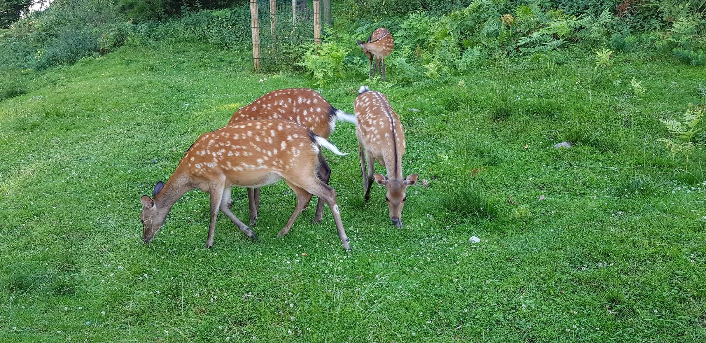 freilaufende Rehe im Tierpark Rosegg Kärnten