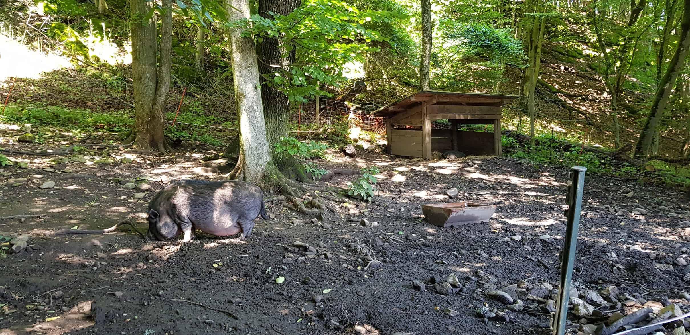 Hängebauchschwein im familienfreundlichen Ausflugsziel in Kärnten