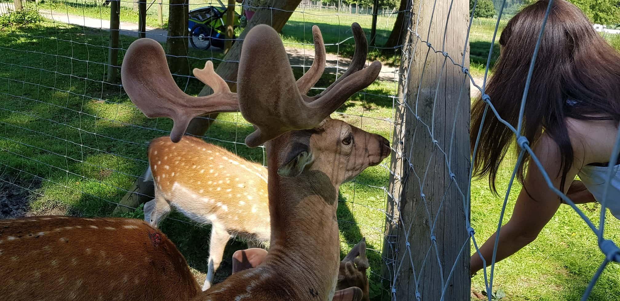 Hirsche füttern im Tierpark Schloss Labyrinth Rosegg