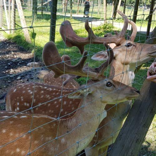 Hirschen füttern im Tierpark Rosegg - Ausflug mit Kindern in Kärnten