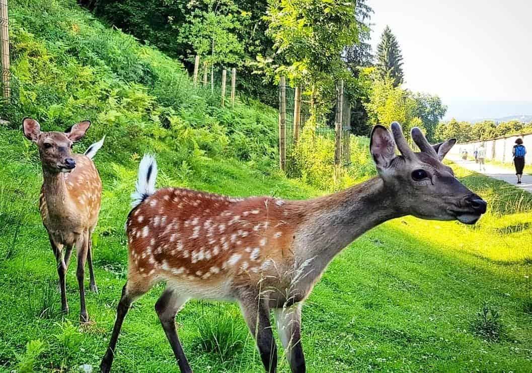 Kärntens TOP Ausflugsziele Tierpark Rosegg Wörthersee Österreich Wildtierpark Rehe