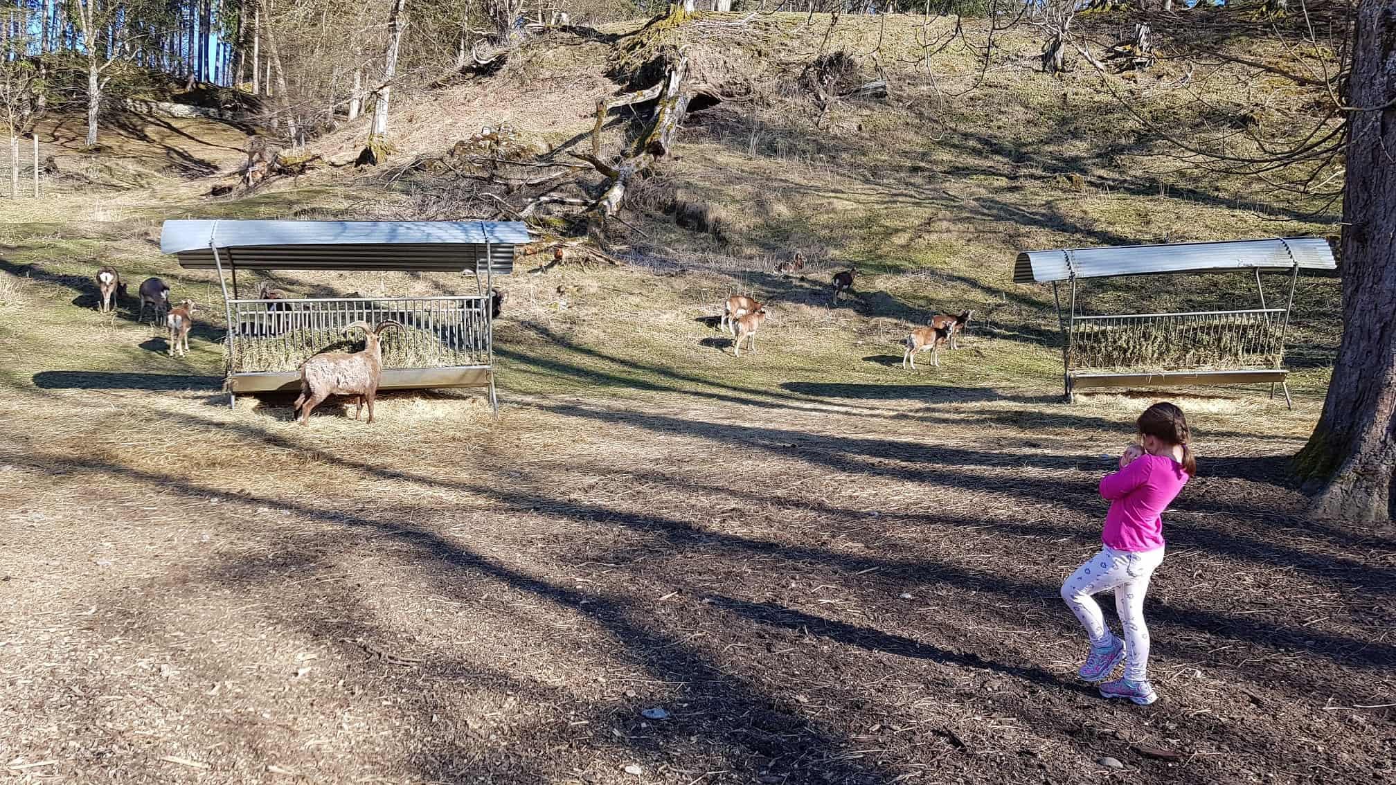Kind beobachtet Steinböcke im Tierpark Rosegg Kärnten