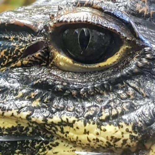 Krokodil im Familien-Ausflugsziel Reptilienzoo Happ in Klagenfurt am Wörthersee in Kärnten - Nahaufnahme Auge