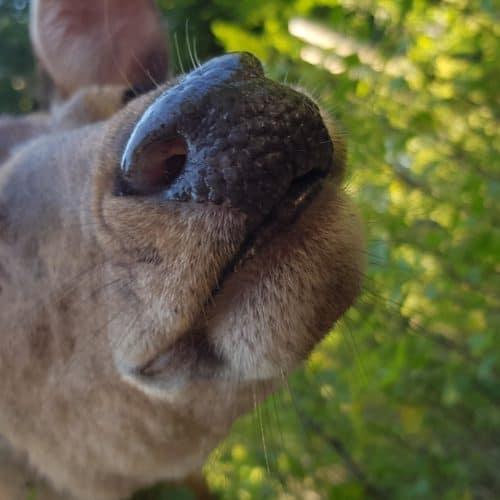 Neugierige Tiergarten-Bewohner warten auf Streicheleinheiten - Reh im Tierpark Rosegg