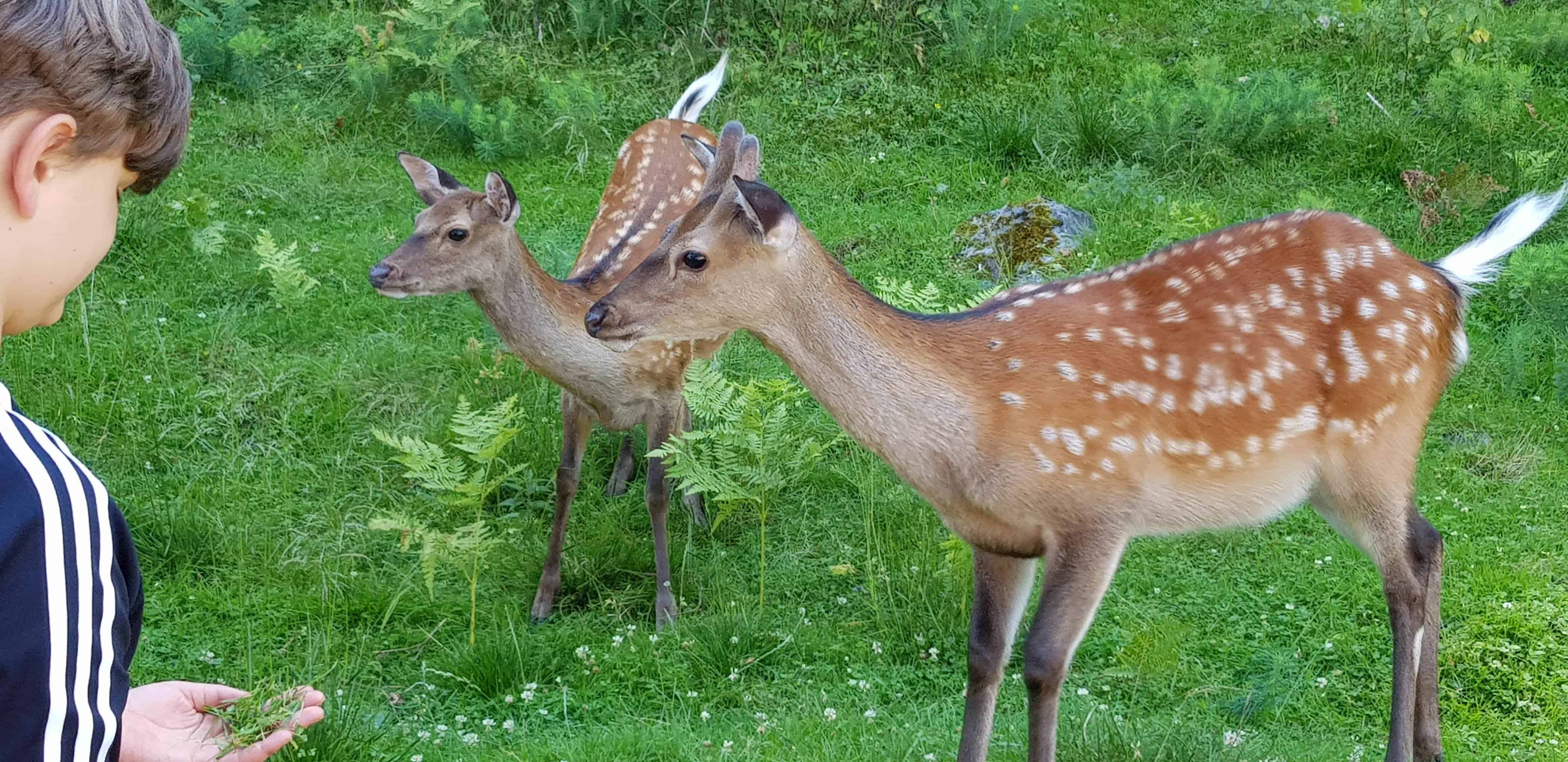 Rehe im Tierpark Rosegg Kärnten