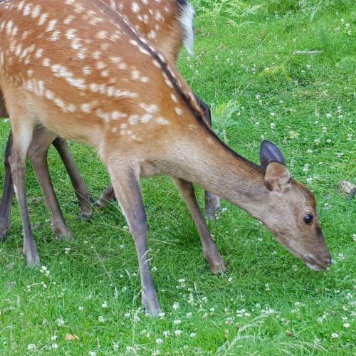 Rehe in Kärnten Tierpark Rosegg Familienausflug