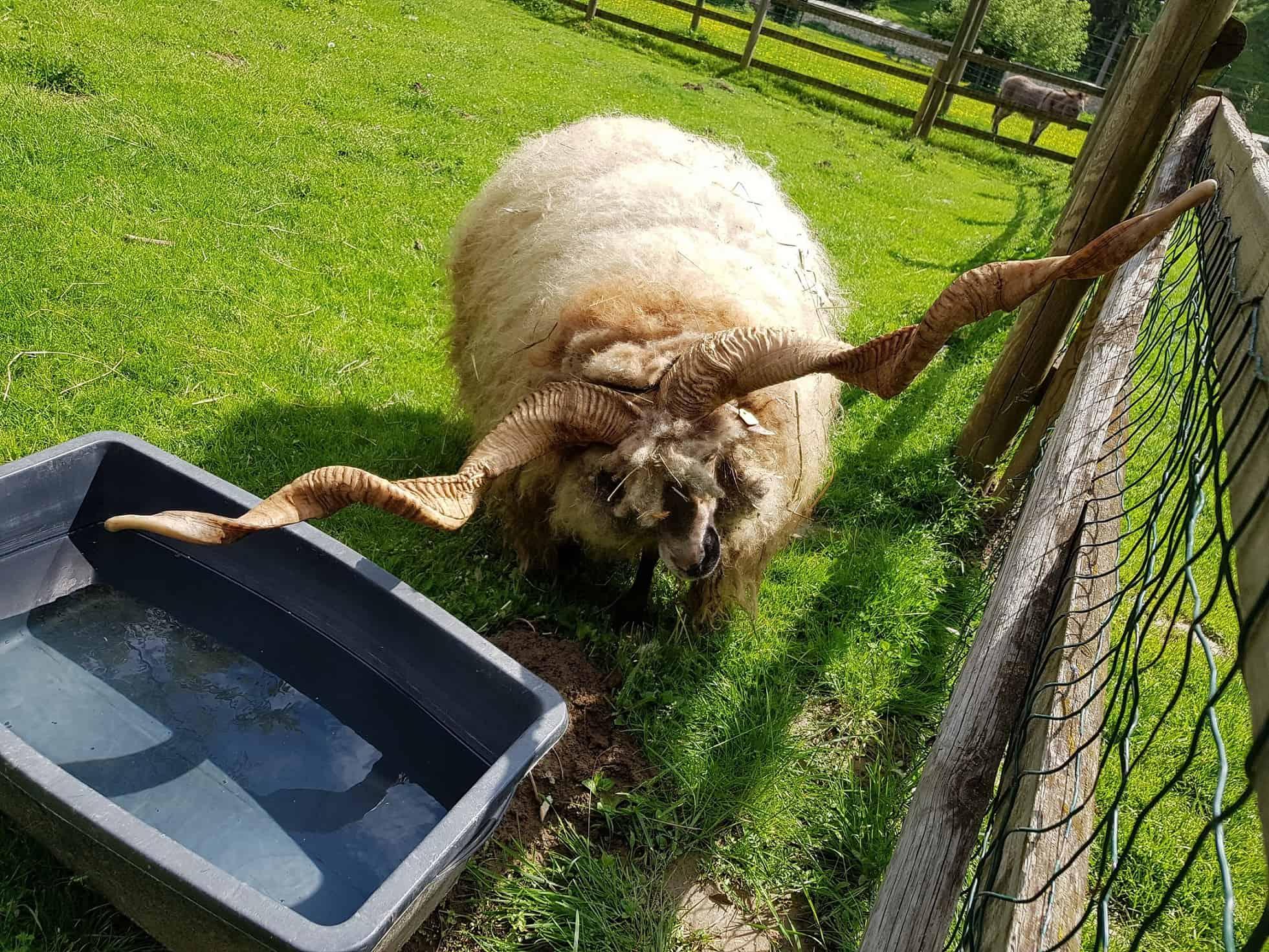 Schafe im Streichelzoo Tierpark Rosegg Kärnten