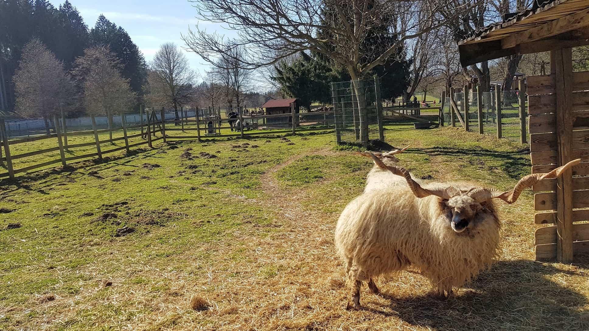 Schafe im Zoo Tierpark Rosegg Kärnten Urlaub mit Kindern