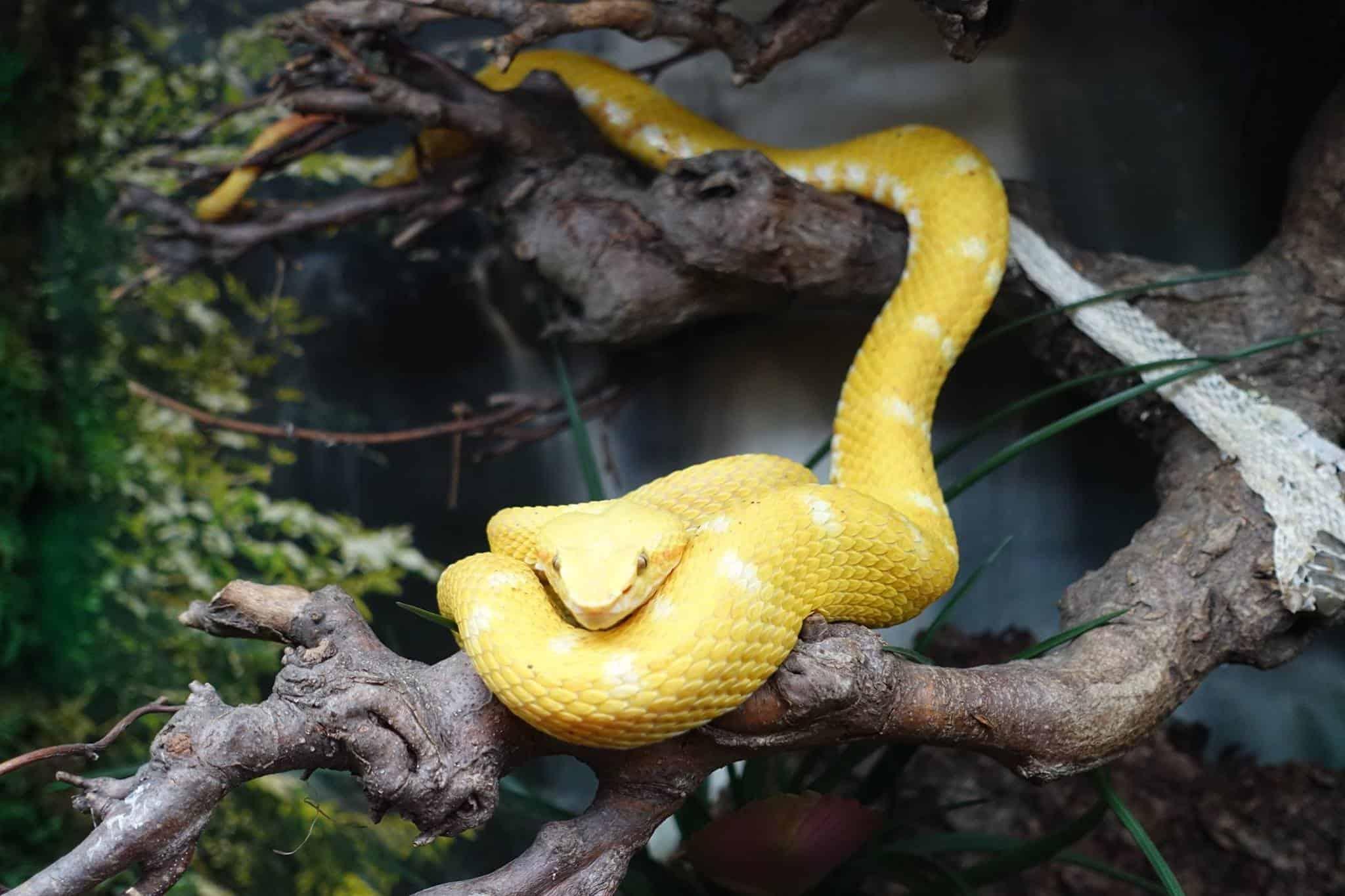 gelbe Schlange im Kärntner Ausflugsziel Reptilienzoo Happ in Klagenfurt am Wörthersee