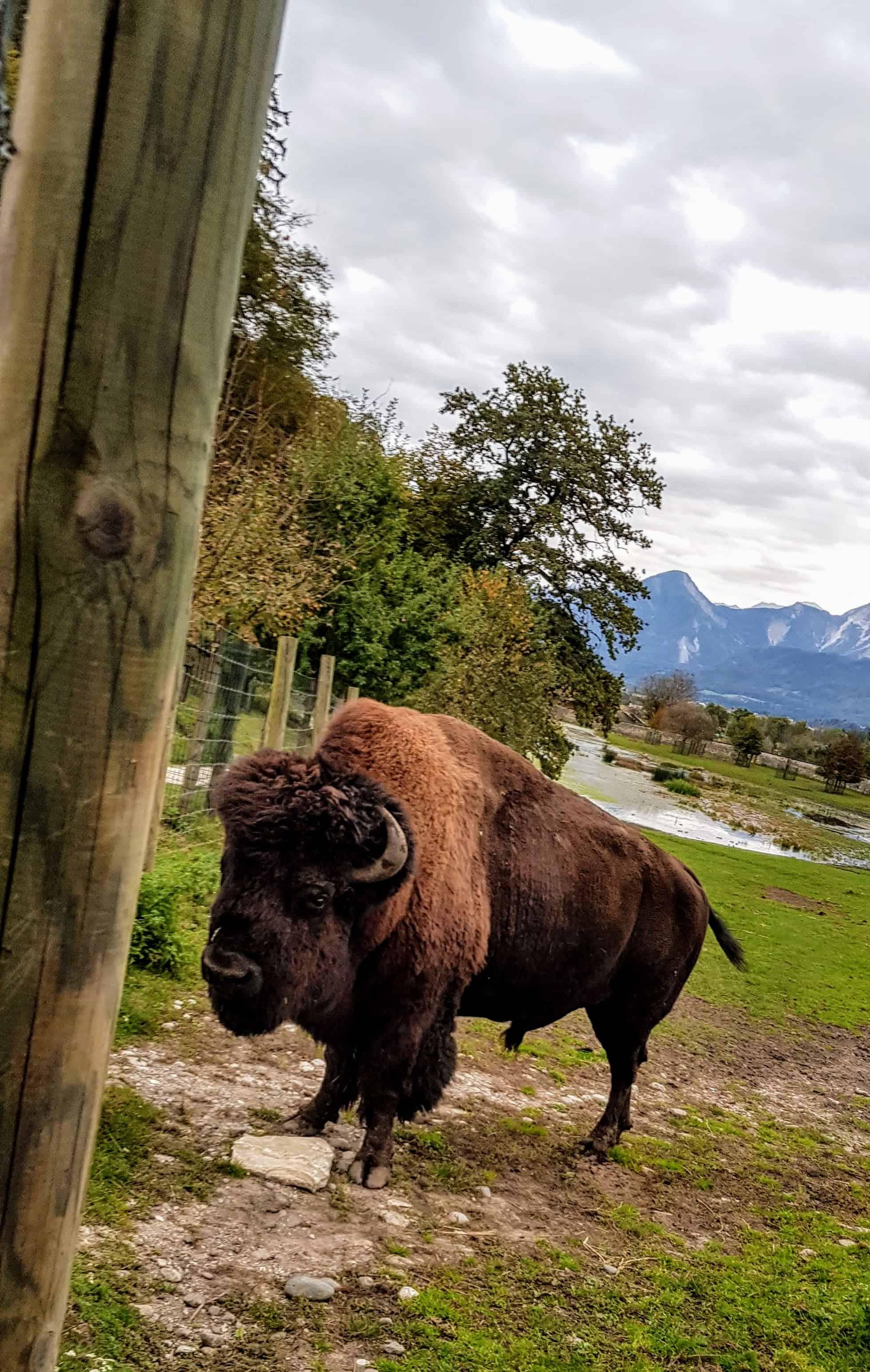 Bison bei Ausflug in Tierpark Rosegg in Kärnten Nähe Wörthersee - Sehenswürdigkeiten in der Carnica Region Rosental, Österreich
