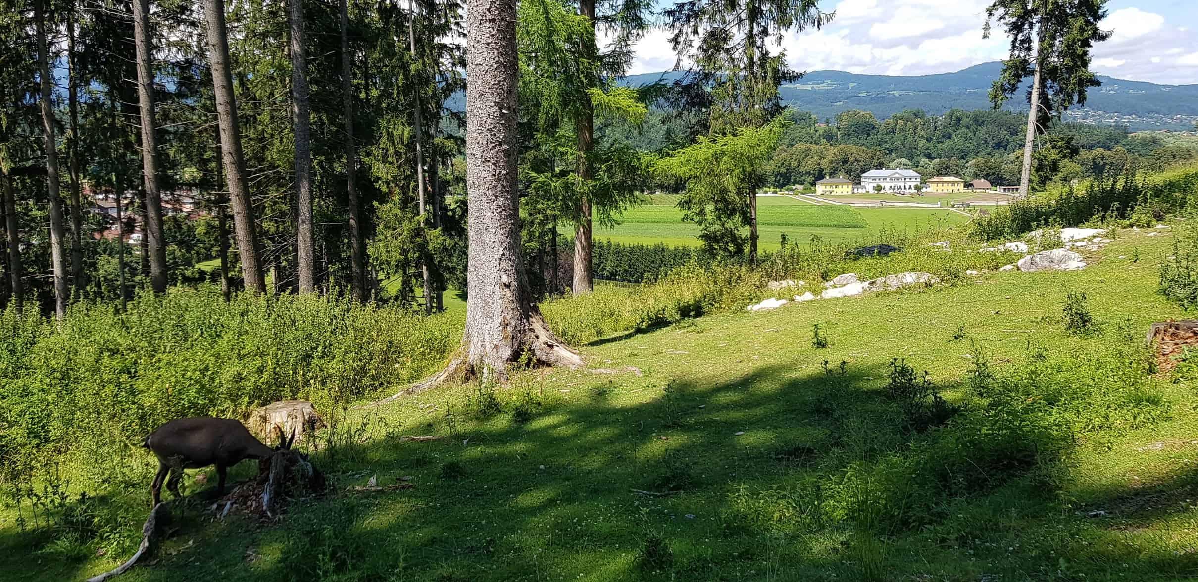 Steinbock und Schloss Rosegg im familienfreundlichen Tierpark