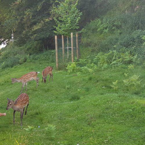 Rehe - Tiere entlang des Wanderweges im Tierpark Rosegg Nähe Wörthersee
