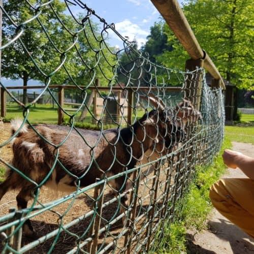 Tiere füttern Tierpark Rosegg Streichelzoo Ziegen kinderfreundliches Ausflugsziel