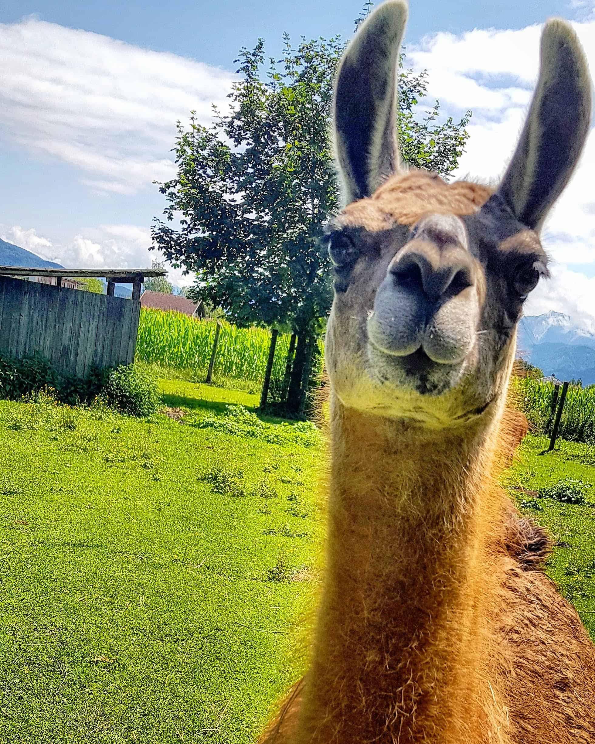 Tiere im Tierpark Rosegg Streichelzoo Lama kinderfreundlich Kärnten