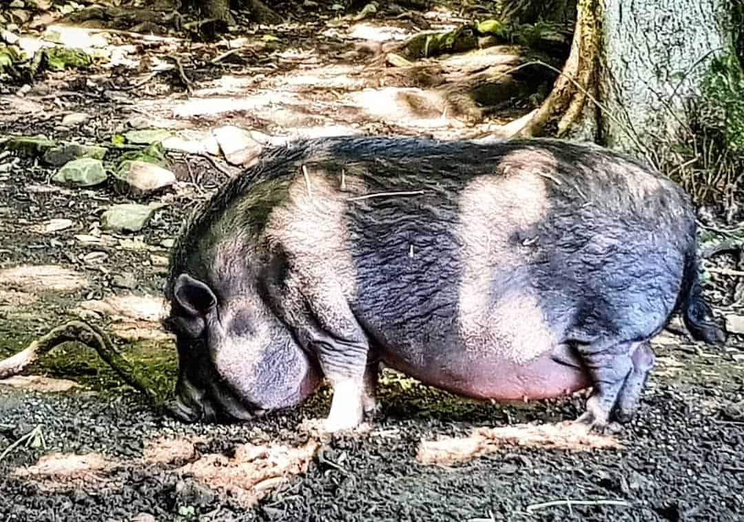Hängebauchschwein - Tiere im Wildtierpark Rosegg Nähe Wörthersee Kärnten