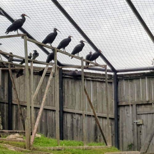 Waldrappe - Vögel im Tierpark Rosegg in Kärnten Nähe Wörthersee, Österreich