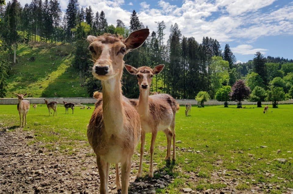 familienfreundlicher Ausflug in den Tierpark Rosegg Wörthersee Kärnten Rehe