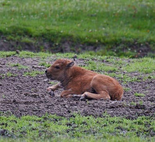 TOP Ausflugsziele Kärnten: Bison Baby im Tierpark, Schloss & Labyrinth Rosegg