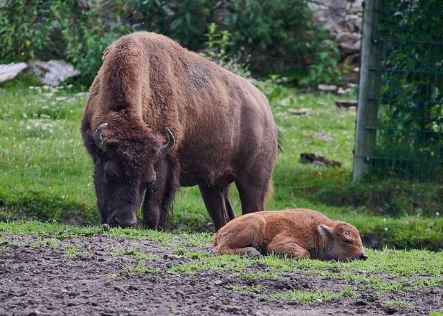 TOP Ausflugsziele Kärnten Tierpark Rosegg Bison Baby mit Mama