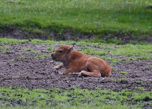 Bison Baby Nachwuchs im Tierpark Rosegg in Kärnten