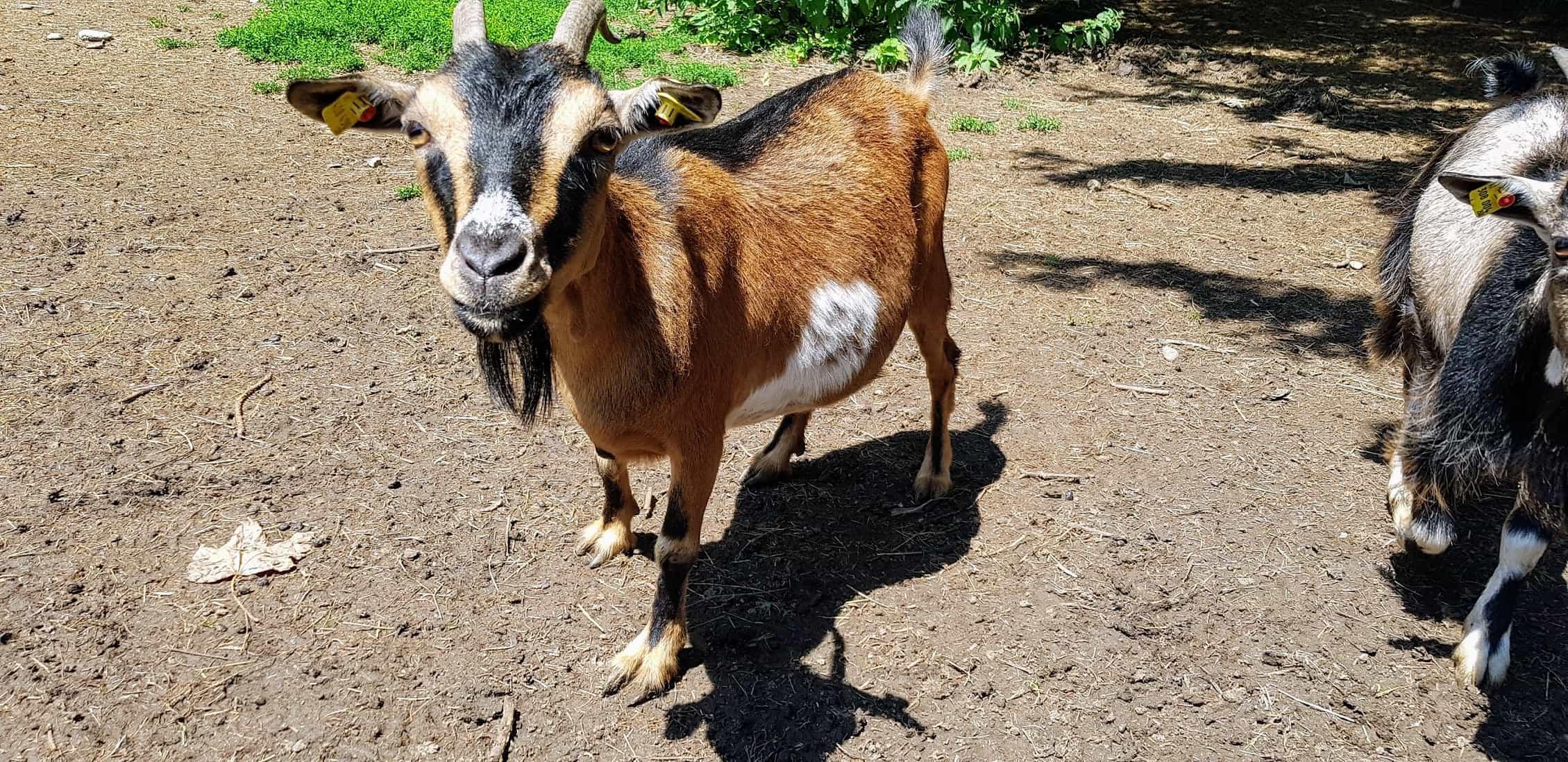Ausflug Tierpark Rosegg Ziege familienfreundlicher Streichelzoo