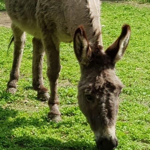Urlaub Kärnten Ausflugsziel Tierpark Rosegg Wörthersee Esel Streichelzoo