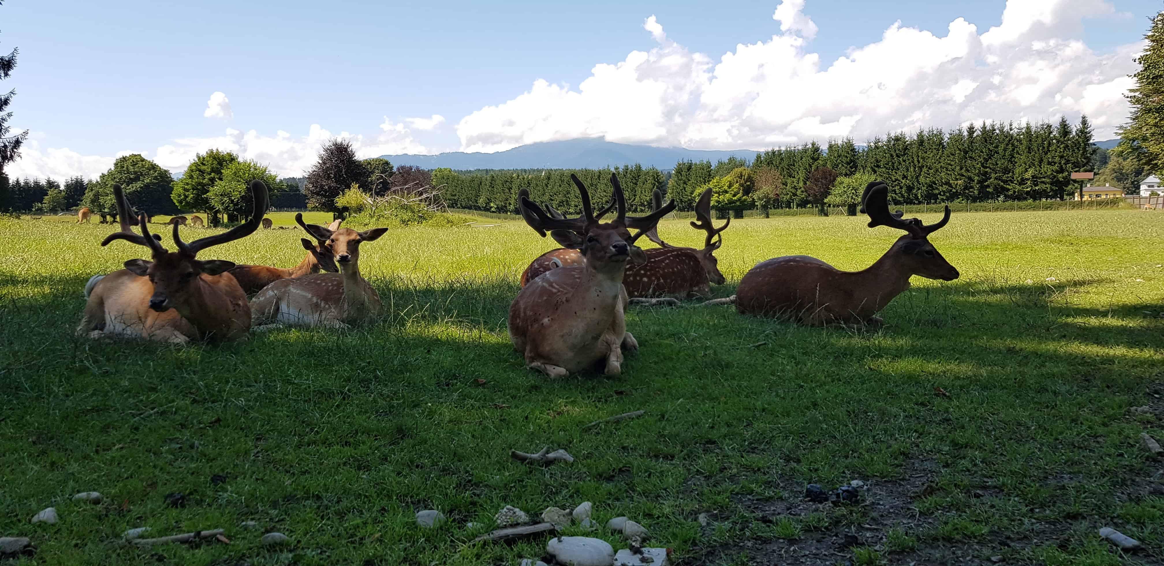 Wild im Wildtierpark Rosegg Kärntens TOP Ausflugsziele