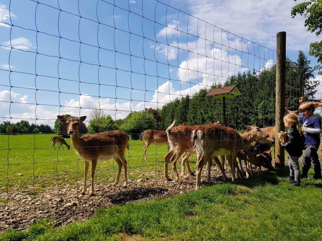 Wild im Tierpark Rosegg wird von Kindern gefüttert