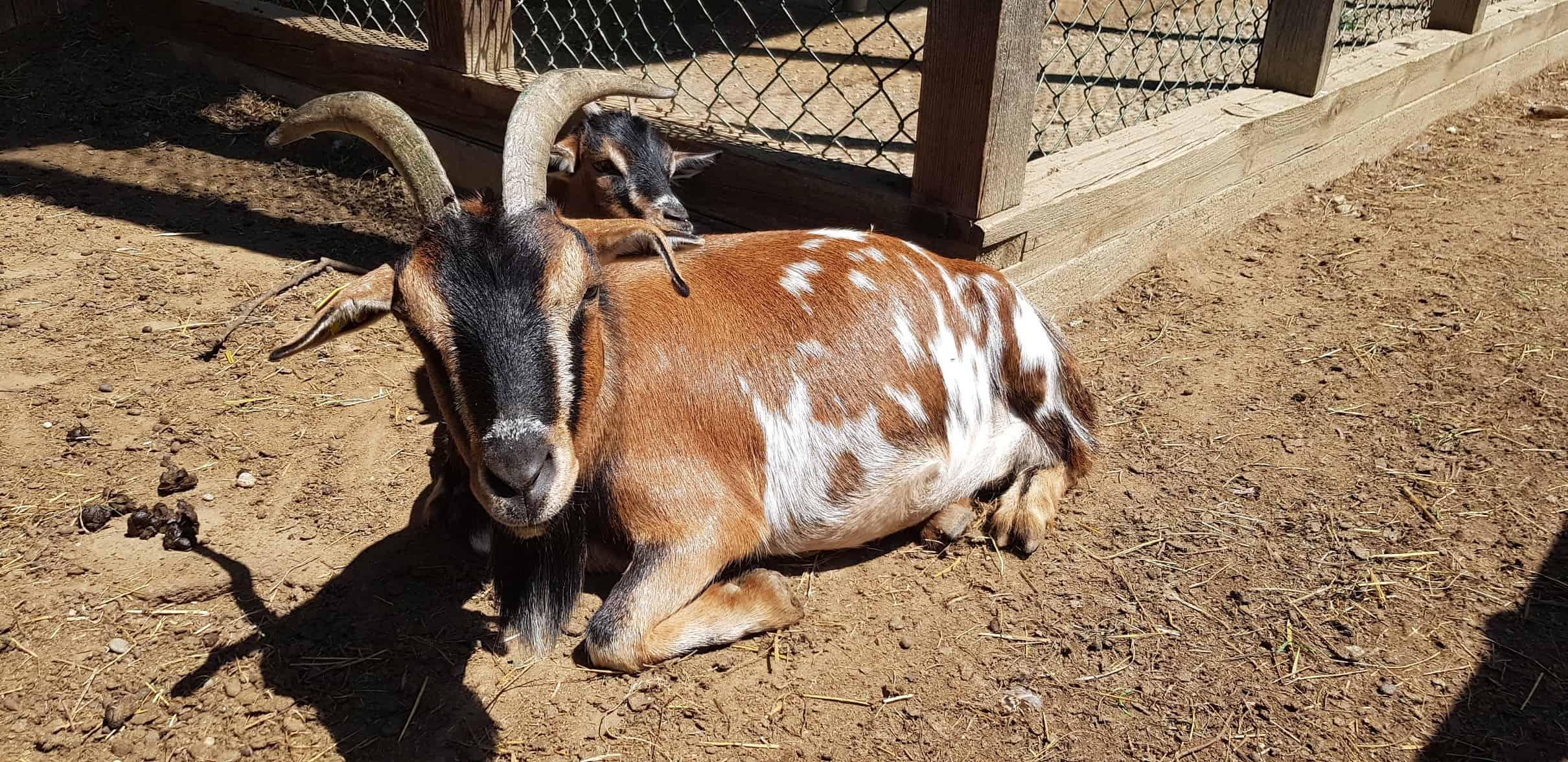 Ziege im kinderfreundlichen Streichelzoo Tierpark Rosegg Kärnten