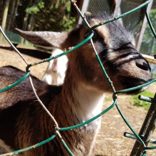 Ziegen füttern streicheln Tierpark Rosegg Streichelzoo