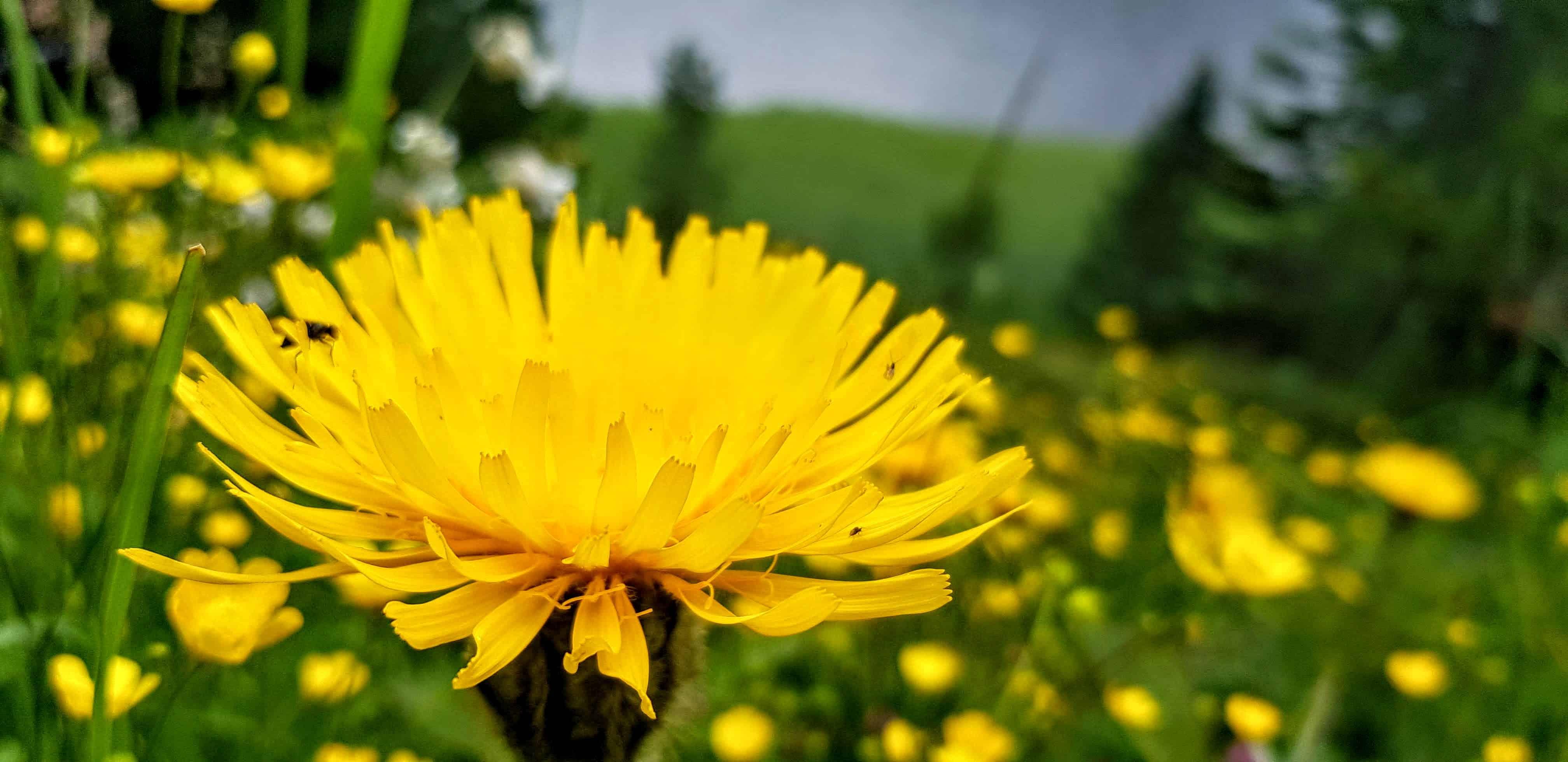 gelbe Blumen beim Schwarzsee auf der Turracher Höhe in Kärnten - Wanderung 3-Seenrunde