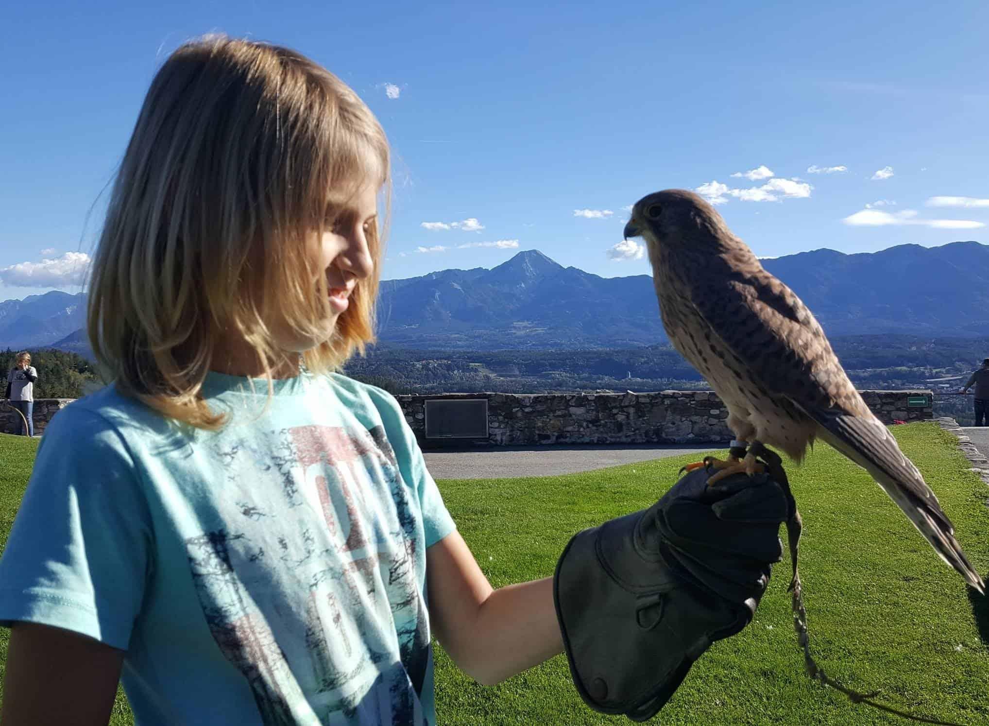 Kind mit Falke auf der kinderfreundlichen Adlerarena Burg Landskron bei Villach in Kärnten