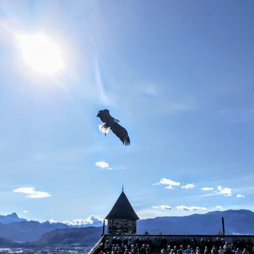 Greifvogel bei der Flugschau auf Adlerarena Burg Landskron