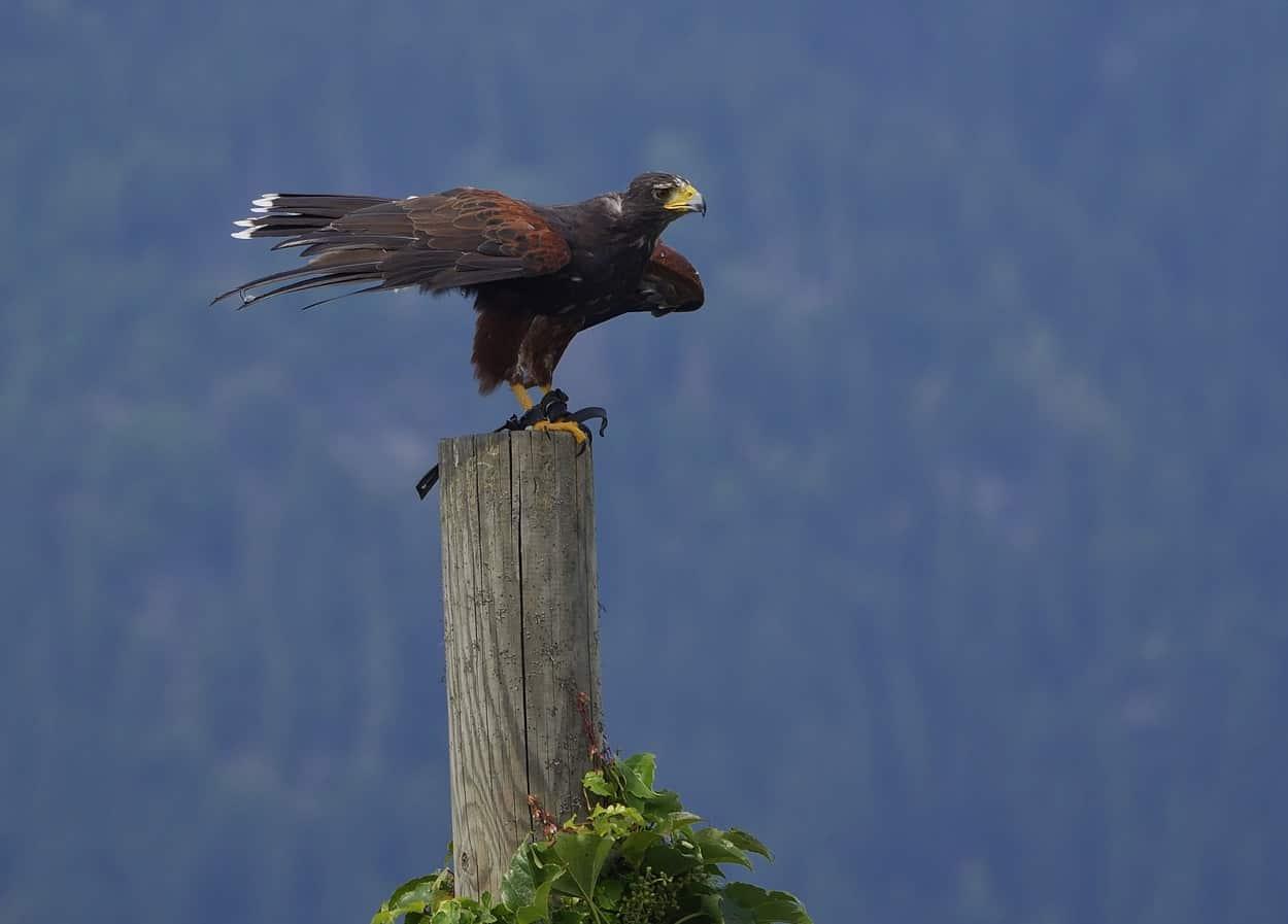 Greifvogel bei Flugschau auf der Adlerarena Landskron am Ossiacher See in Kärnten