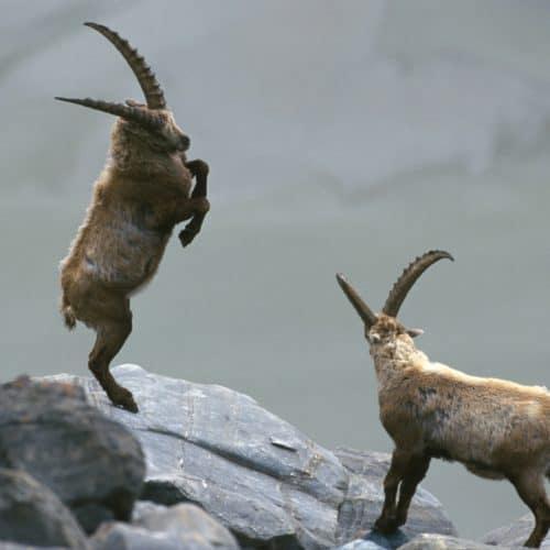 Tiere auf der Großglockner Hochalpenstraße - Steinböcke in den Alpen