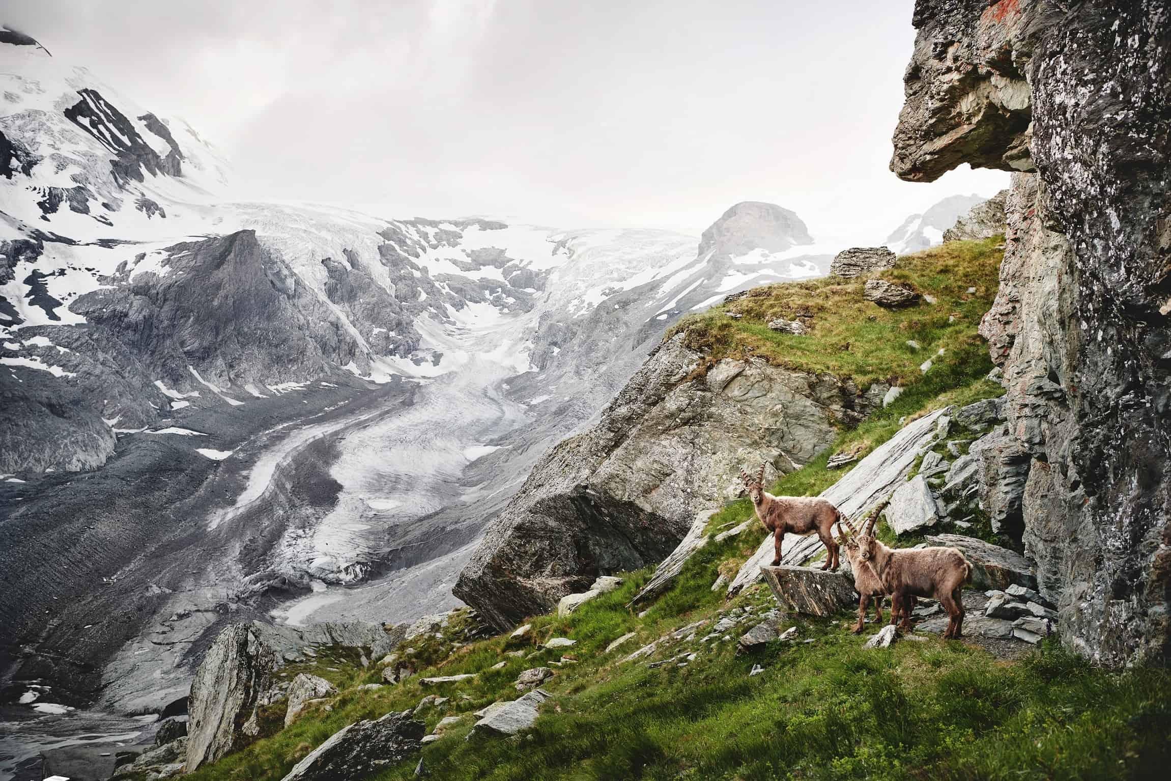 Tiere auf der Großglockner Hochalpenstraße - Steinböcke bei Familienwanderung im Nationalpark