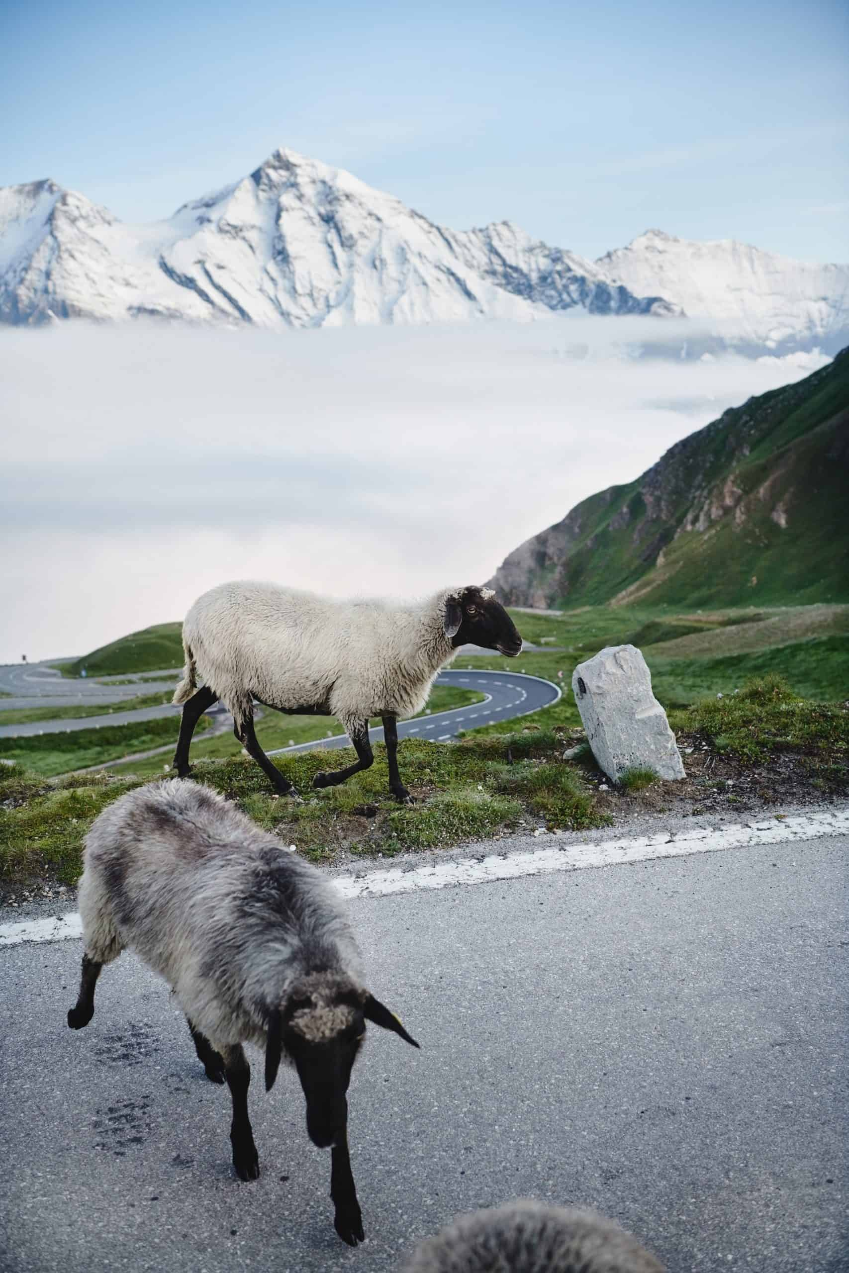 Tiere auf der Großglockner Hochalpenstraße - Schafe entlang der Panoramastraße in Österreich