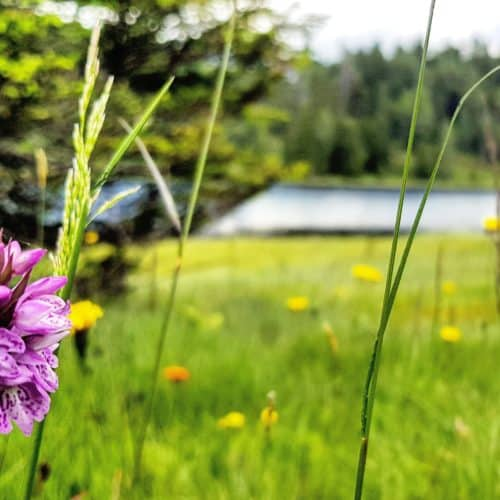 Natur und Blumenwiese rund um den Schwarzsee auf der Turracher Höhe in Österreich