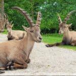 Steinböcke im Tierpark Rosegg - TOP Ausflugsziele mit Kindern in Kärnten - Österreich